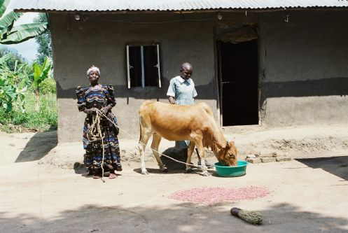 masibo and cow